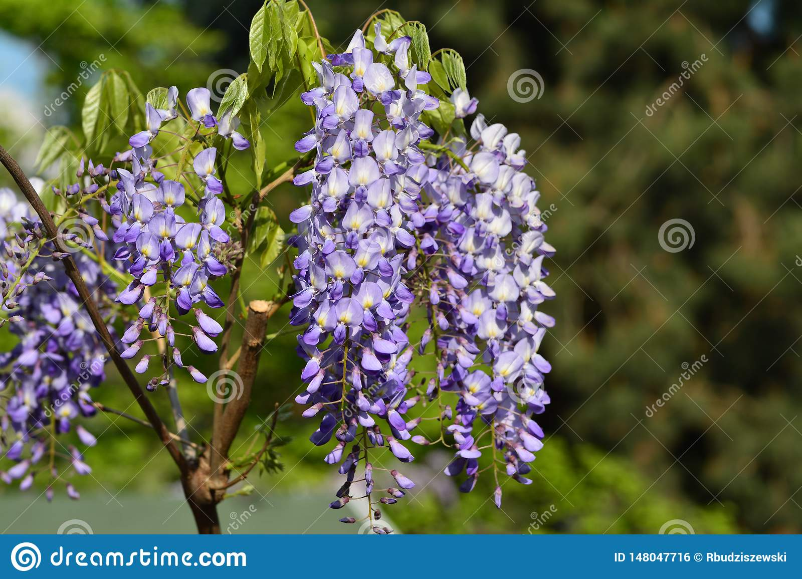 Flower, chinese Wisteria Blue Sapphire