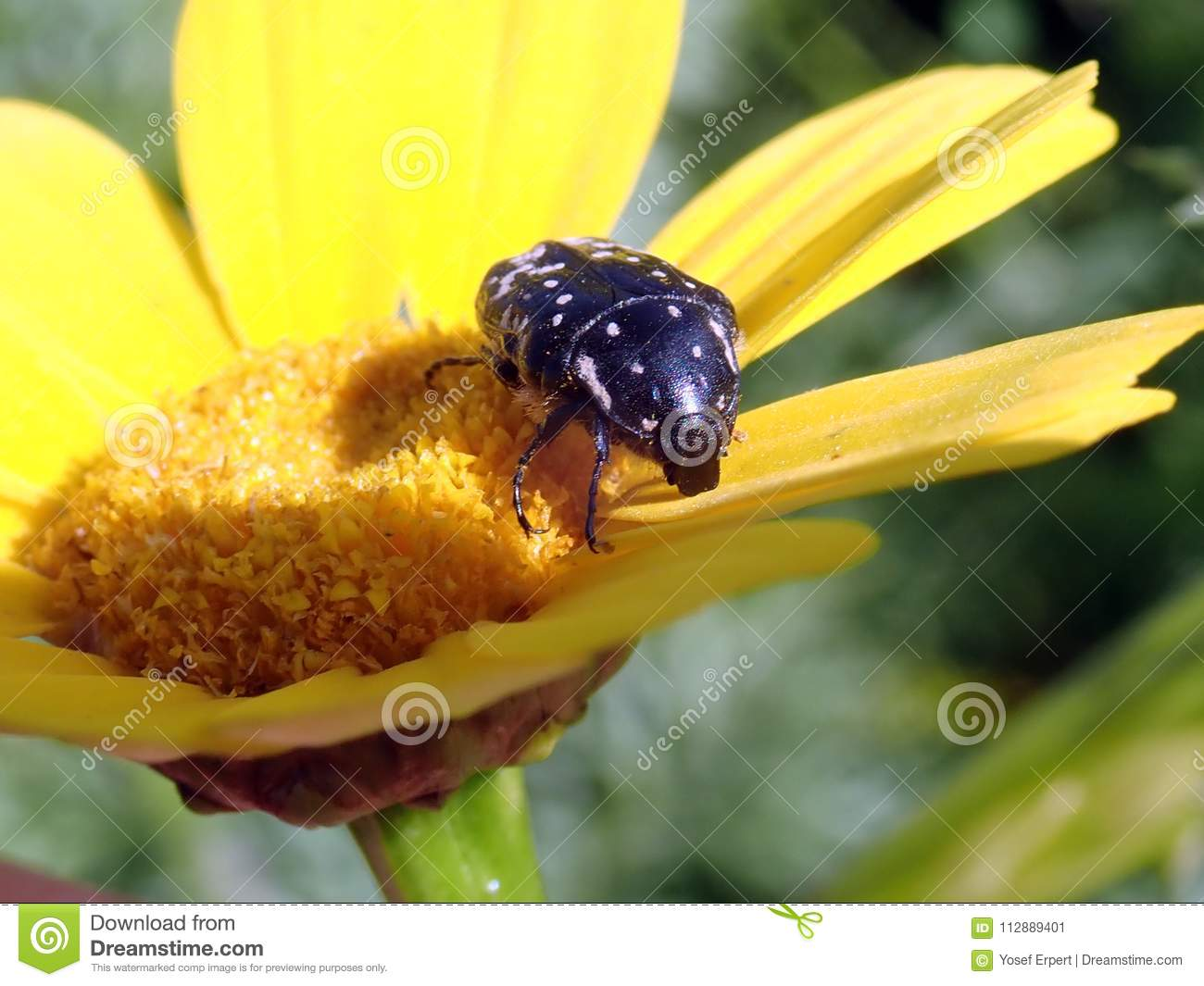 Flower Chrysanthemum House For Insects Stock Image - Image
