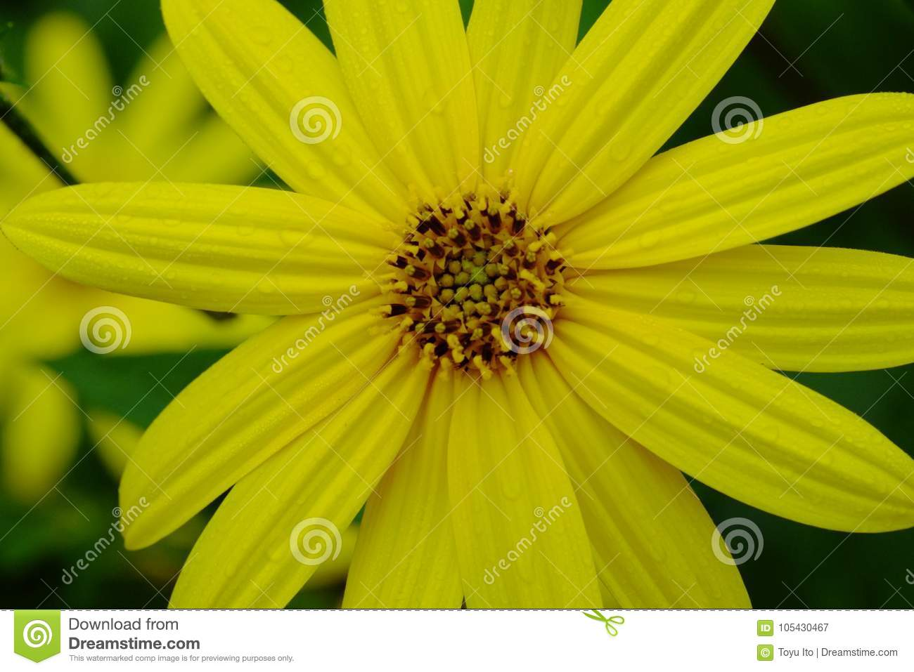 A Flower Of Chrysanthemum That Makes Beautiful Yellow Flowers