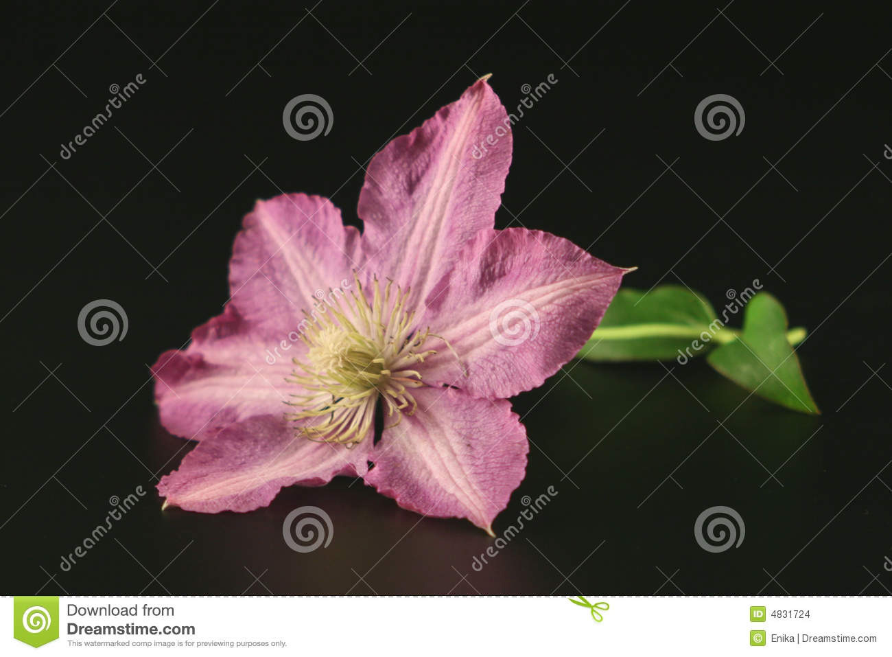 Flower of clematis