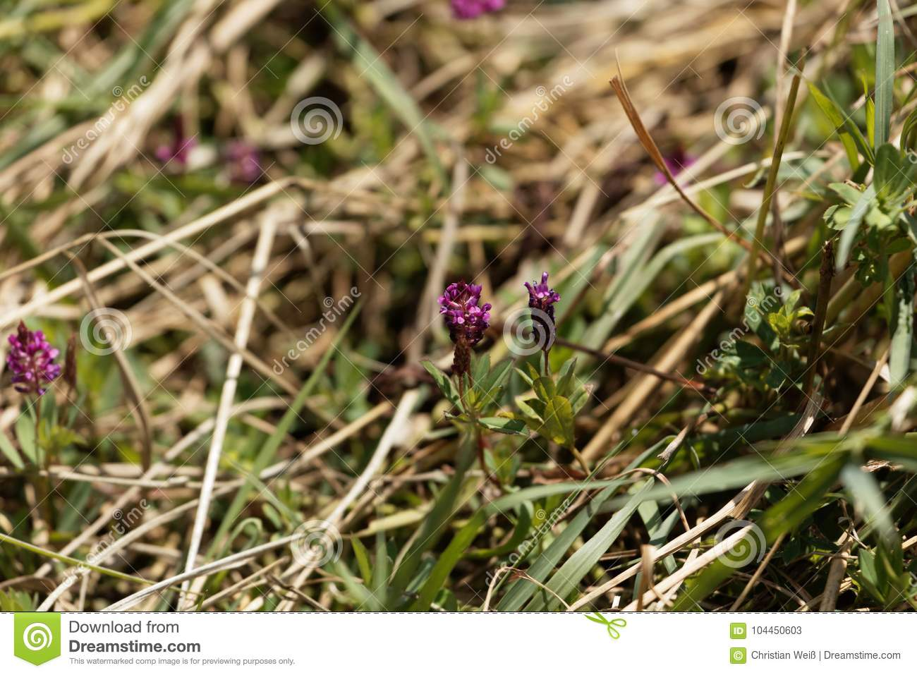 Flower Of The Clover Trifolium Tempense Stock Image - Image of ...