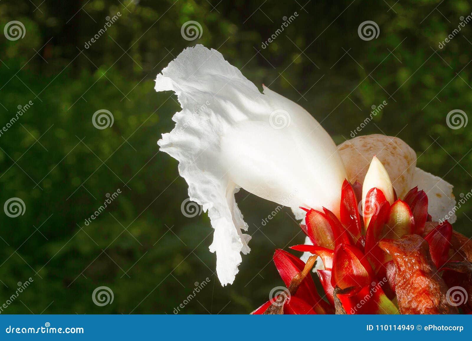 Flower Costus Sp Aarey Milk Colony India Stock Image Image Of