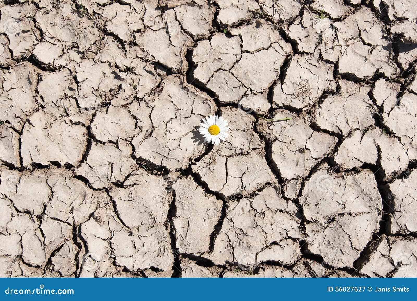 Flower in cracked soil.