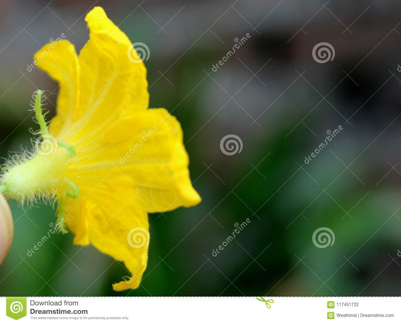 Flower of cucumber cucumis sativus stock photo image of yellow flower of cucumber cucumis sativus cultivated vine with angled leaves small yellow flowers and elogated green fruits covered with tubercles when young mightylinksfo