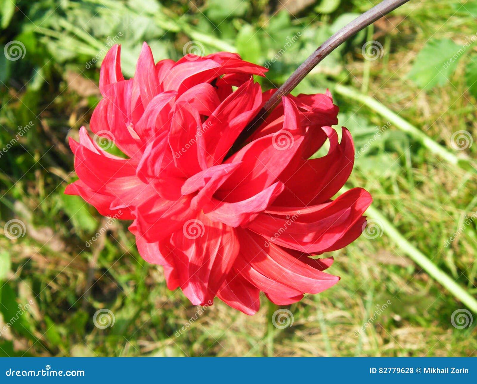 Flower dahlia varieties shot closeup stock photo image of head download comp izmirmasajfo