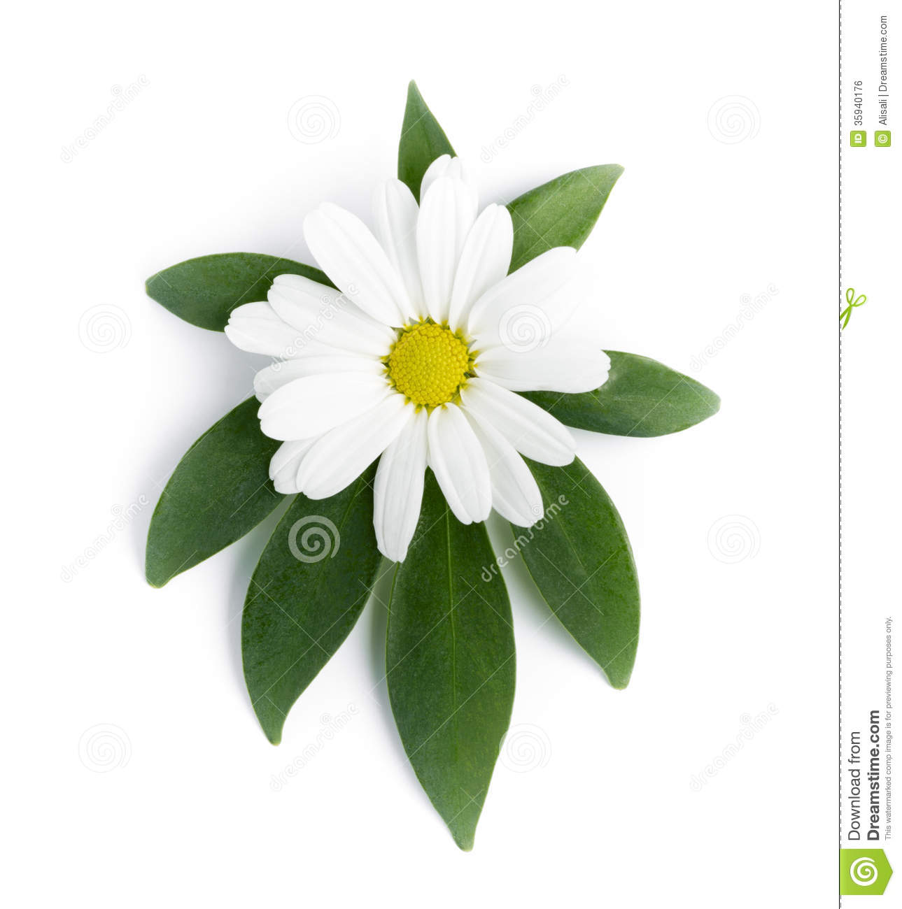 The Flower Of A Daisy Stock Photo Image Of Herbal Camomile 35940176