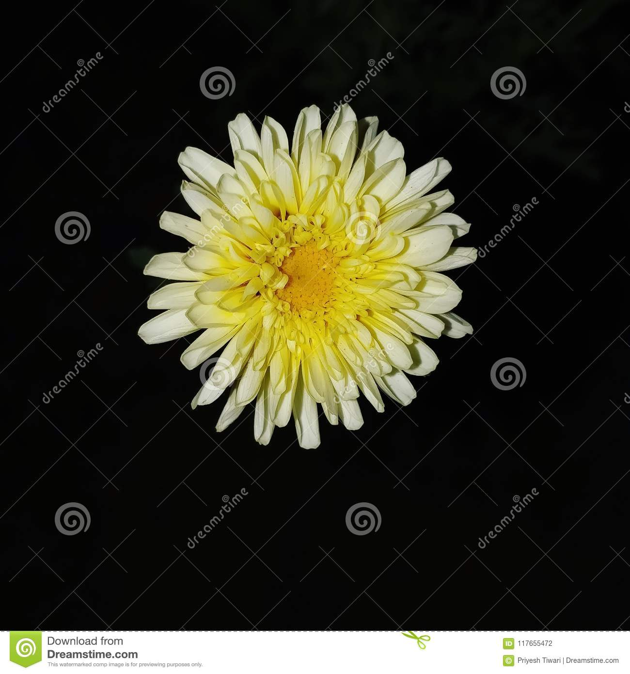 the nigh flower daisy stock photo. image of flower, nature - 117655472