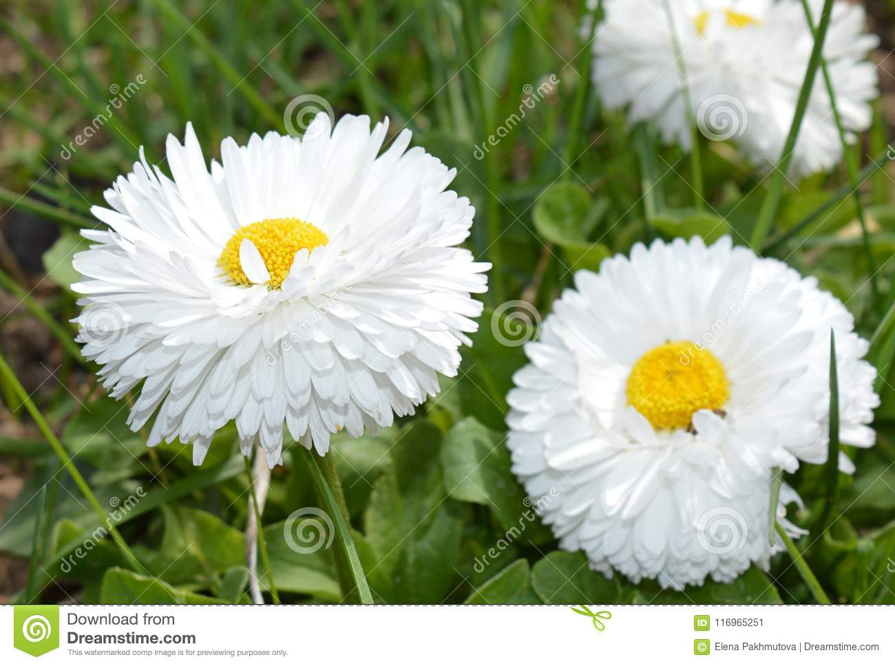 Flower Daisy White Nature Green Spring Plant Yellow Grass