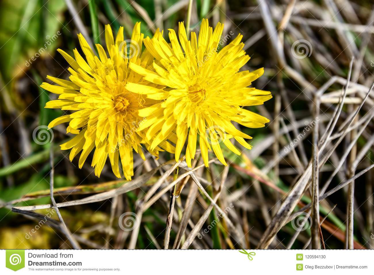The Flower Of A Dandelion Is Very Similar To The Sun Stock