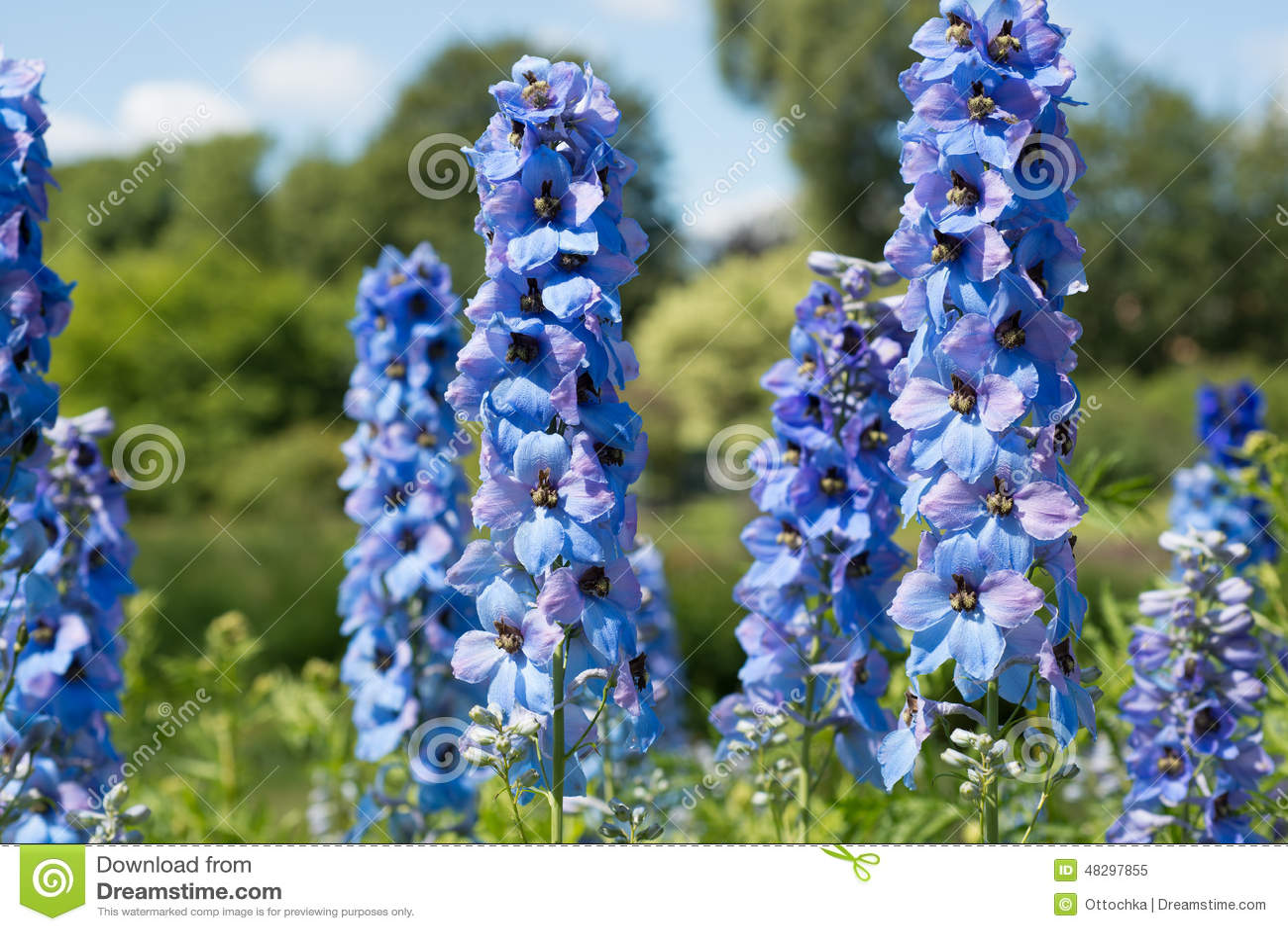 Flower Delphinium Stock Image Image Of Gardening Grow 48297855