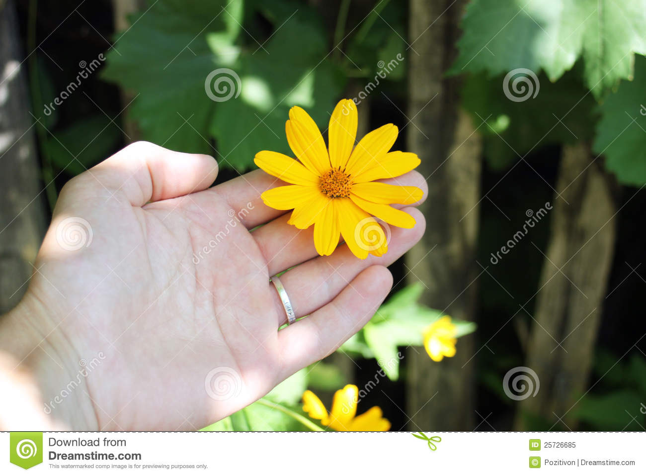 Flower dendrantema yellow in hand