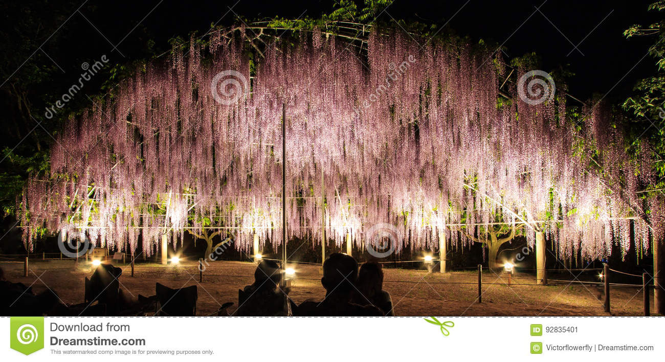 The flower dome of light purple wisteria trellis in bloom at night at Ashikaga Flower Park, Ashikagashi, Tochigi, Japan.