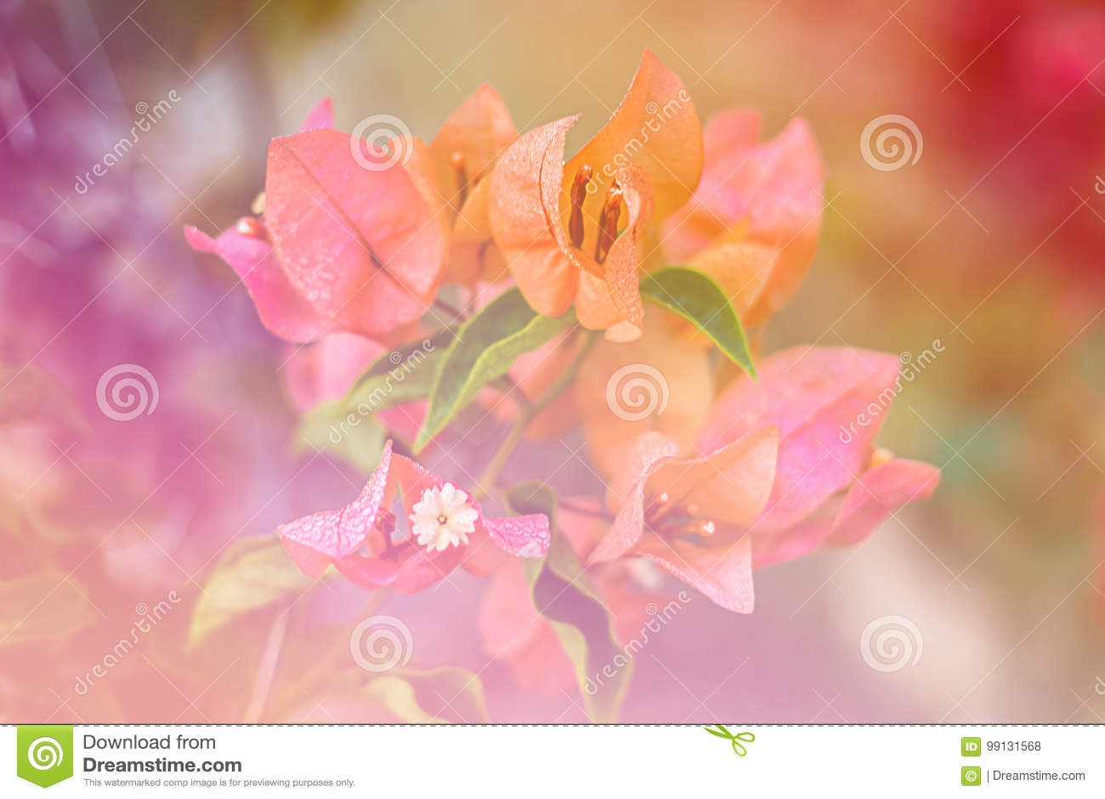 Flower Euphorbia Milli Crown Of Thorns, Christ Thorn Stock