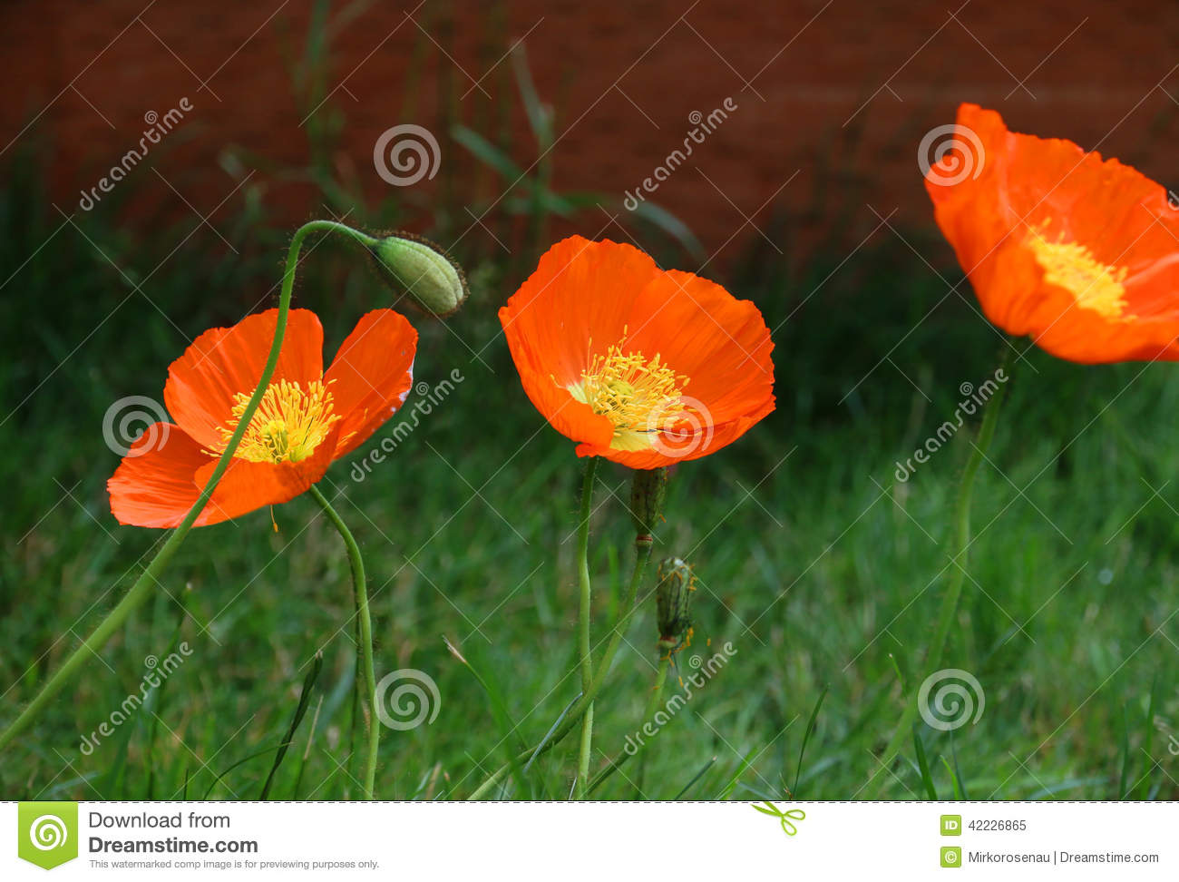 Flower field poppy moon flowers red yellow stock image image of download comp mightylinksfo