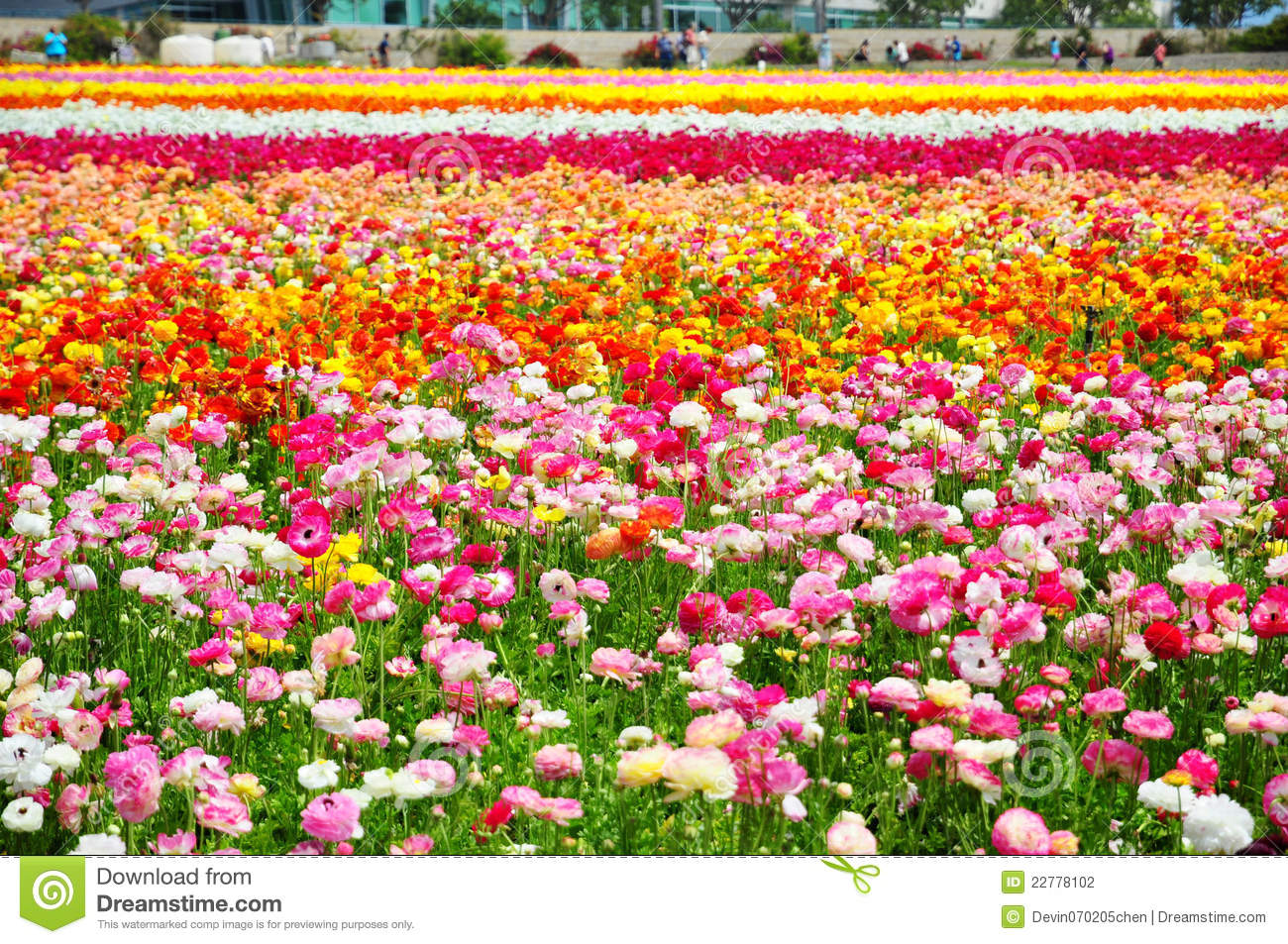 The Flower Fields Carlsbad Stock graphy Image