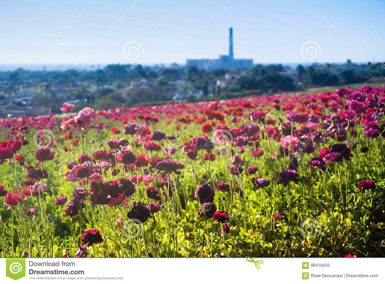 Download Flower Fields In Carlsbad Stock Image. Image Of Garden   89418445