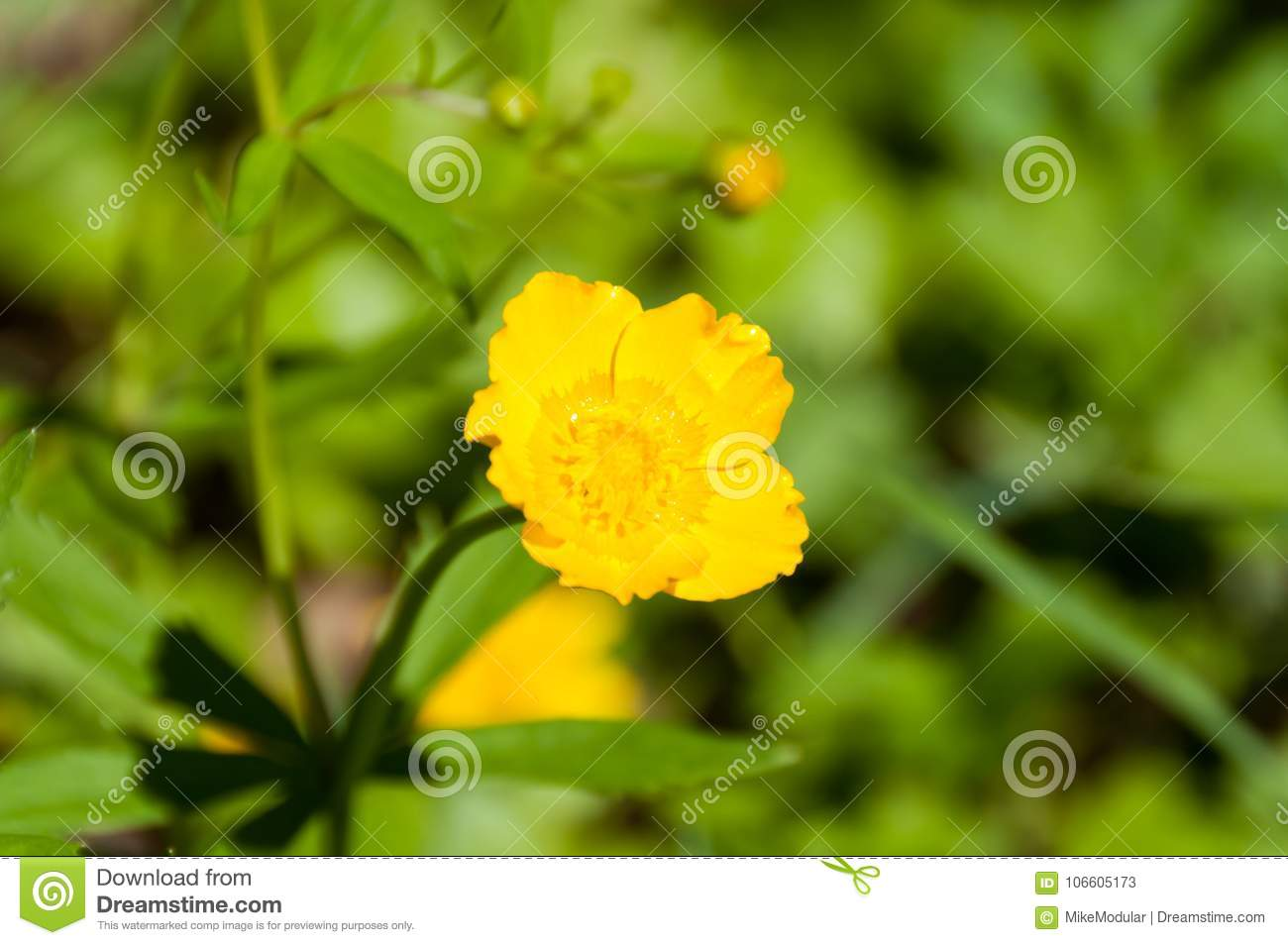 Yellow Flower Five Petals Green Plants Around Stock Image Image