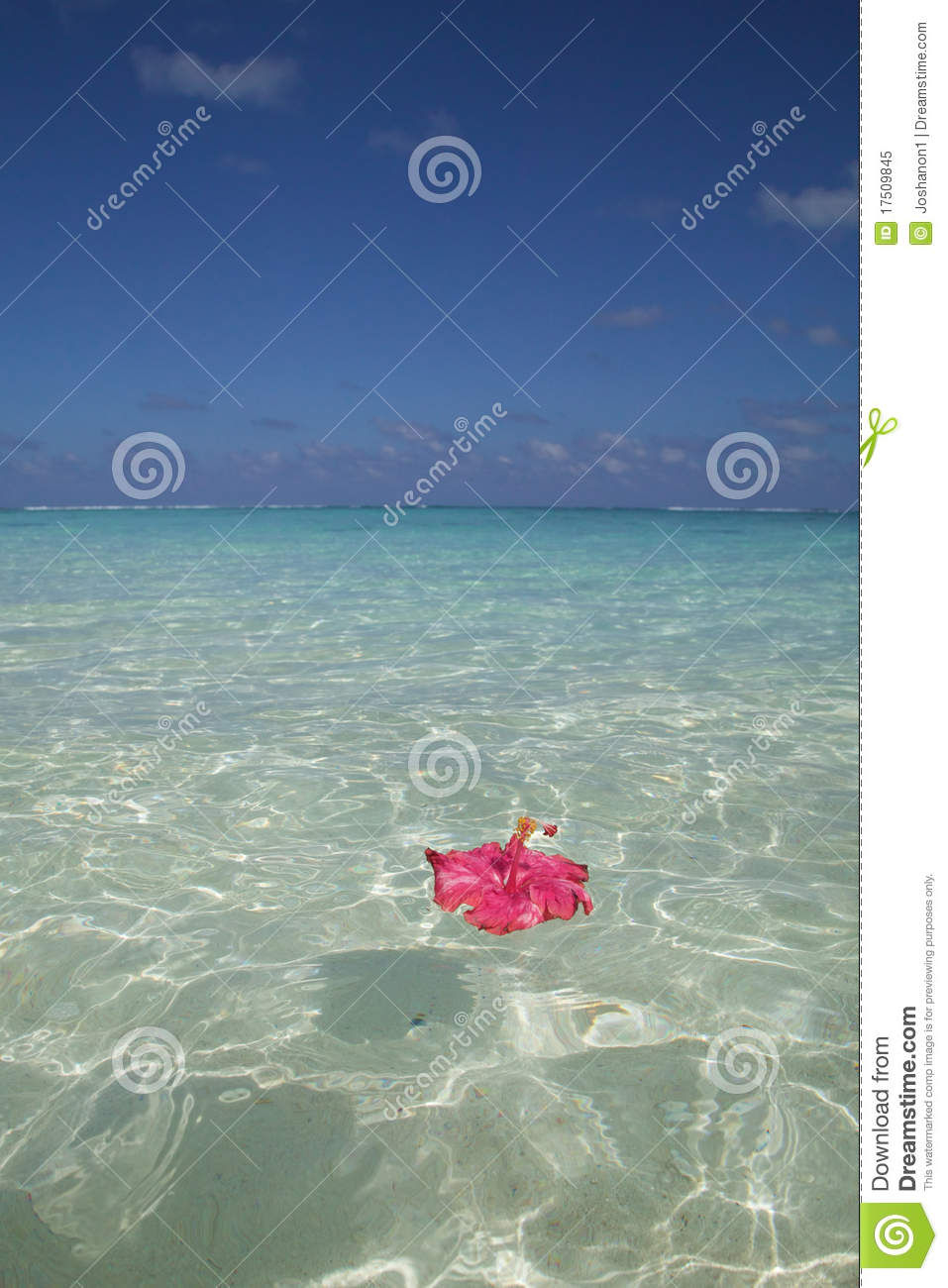 Pink hibiscus floating royalty free stock photo for Floating flowers in water