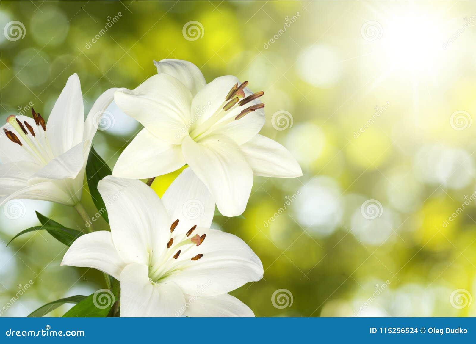 Flower stock photo image of white spring beauty lily 115256524 download flower stock photo image of white spring beauty lily 115256524 izmirmasajfo