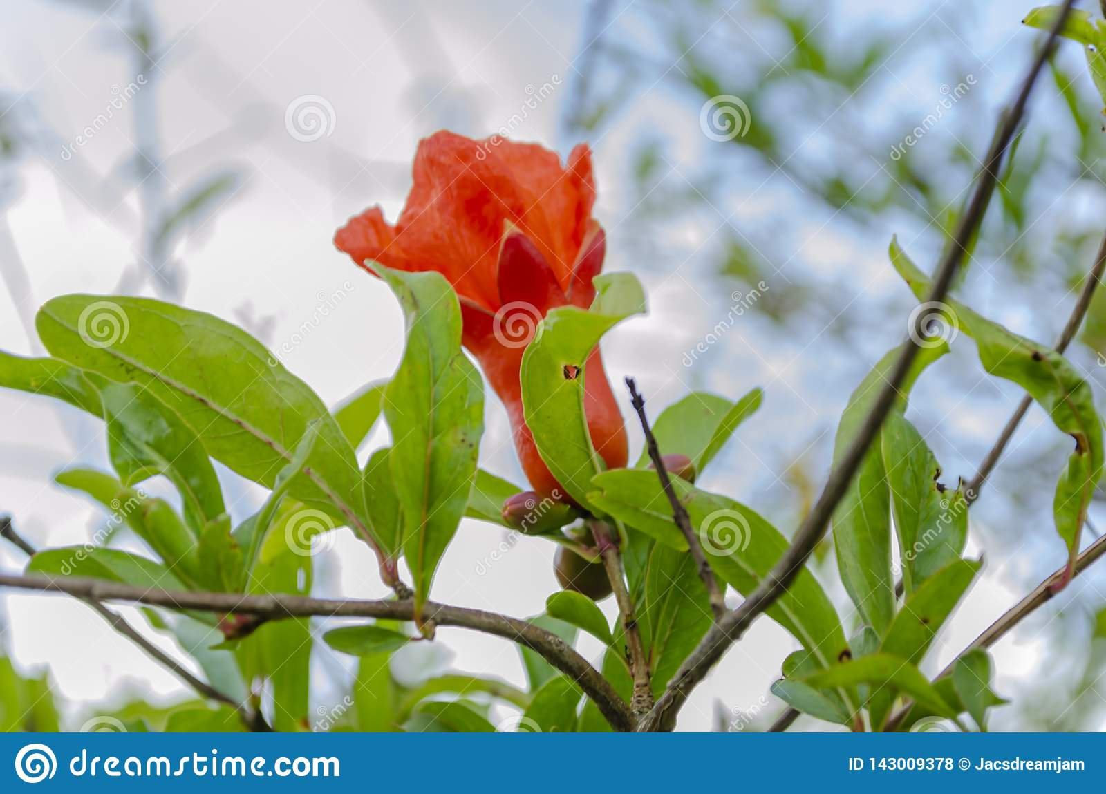 Flower and Foliage of the Pomegranate Tree