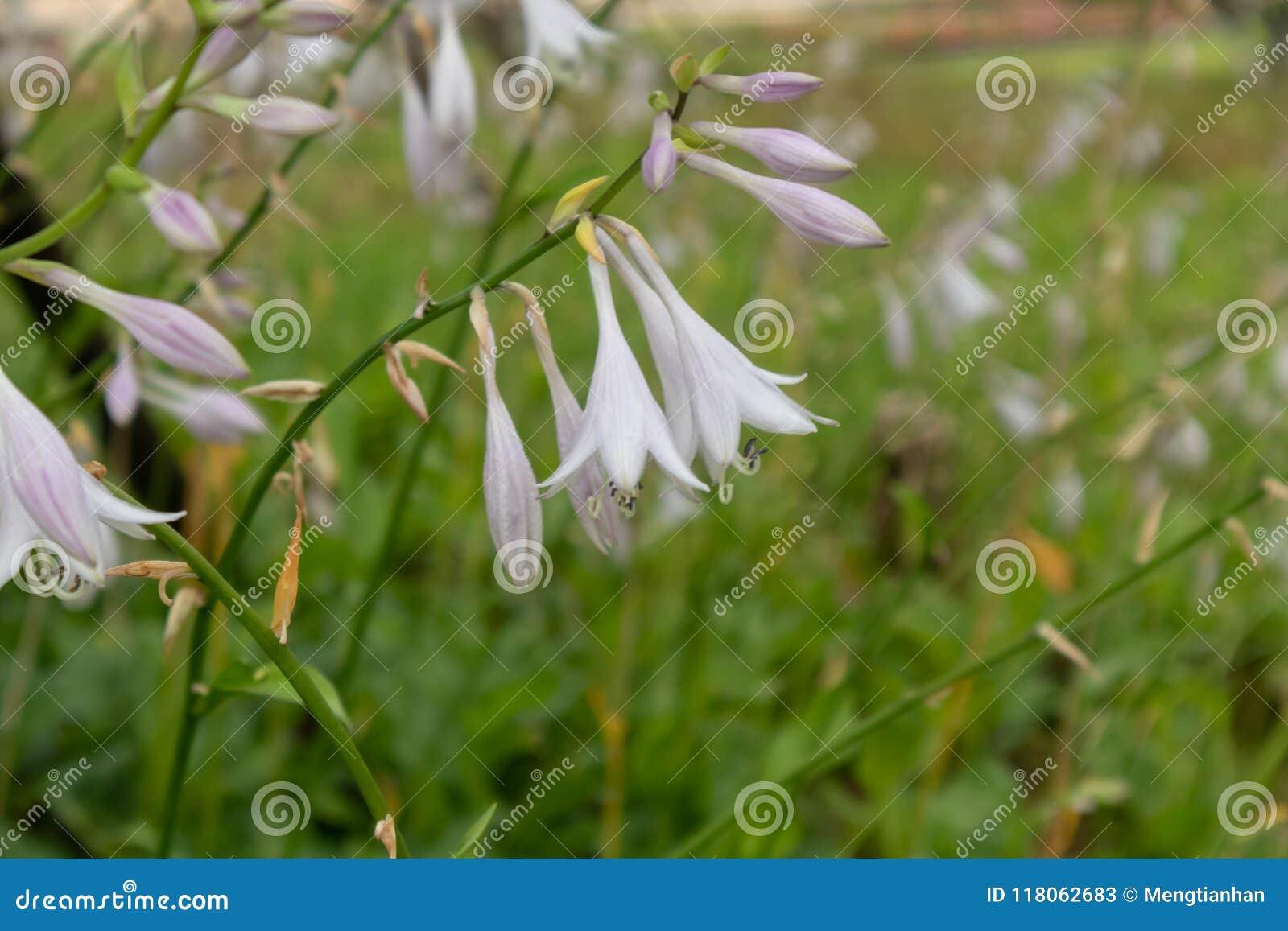 Flower Of Fragrant Plantain Lily Hosta Plantaginea Lam Aschers