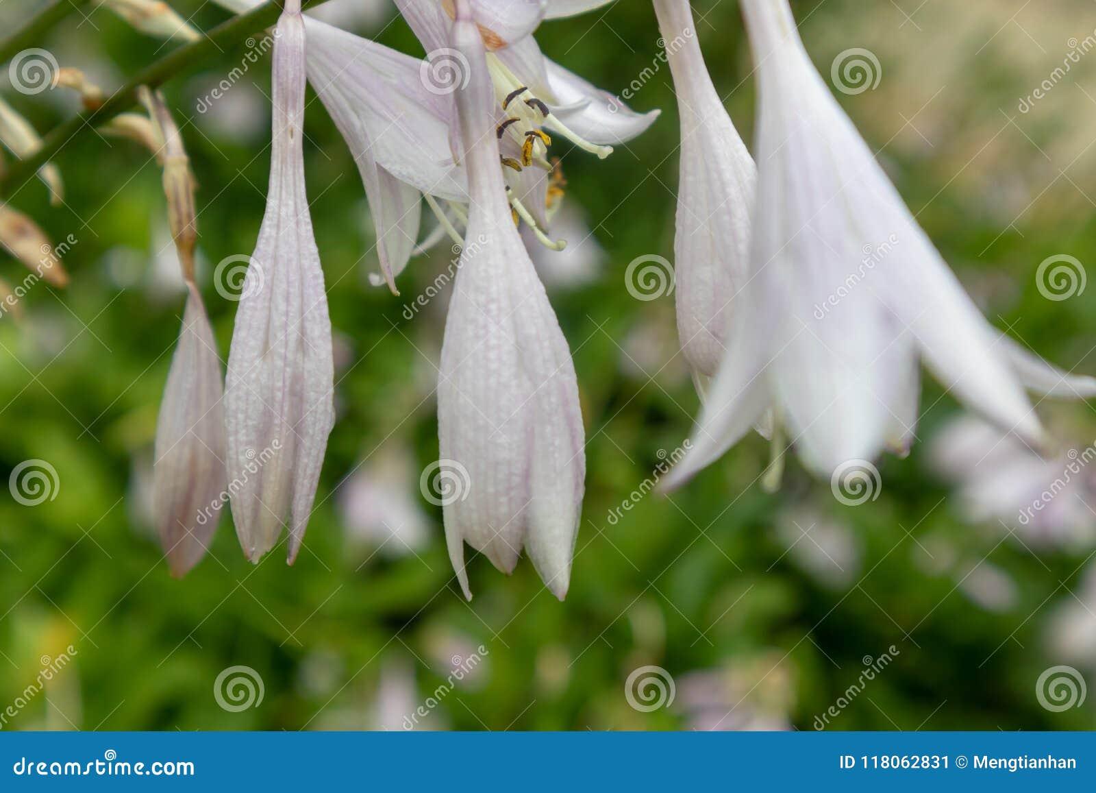 Flower of fragrant plantain lily hosta plantaginea lam aschers download flower of fragrant plantain lily hosta plantaginea lam aschers stock image image izmirmasajfo
