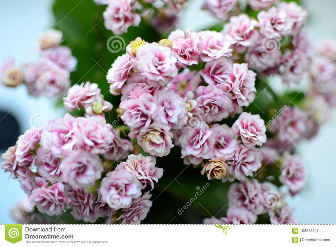 Calanchoe Pink Flower Fresh Spring Flowers At Home Stock Image