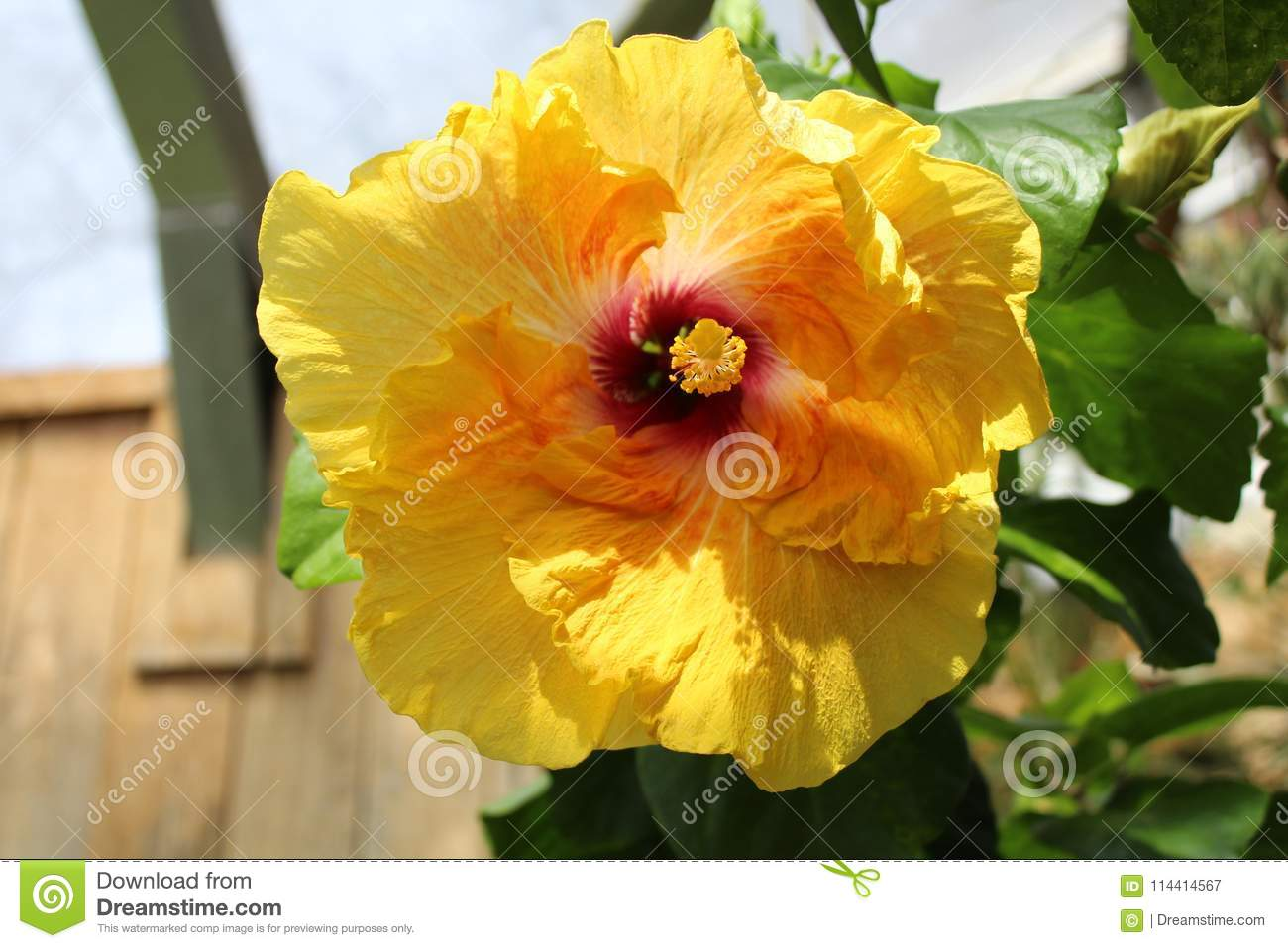 Yellow Hibiscus With Red Center Close Up Stock Image Image Of