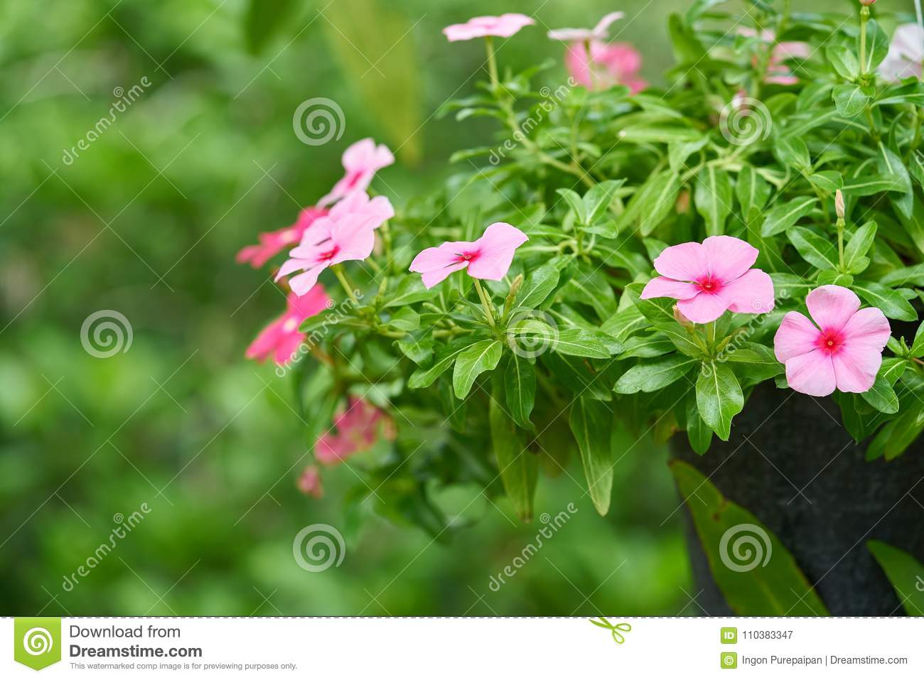 Flower In Garden With Blur Green Background Beautiful Pink Flowers