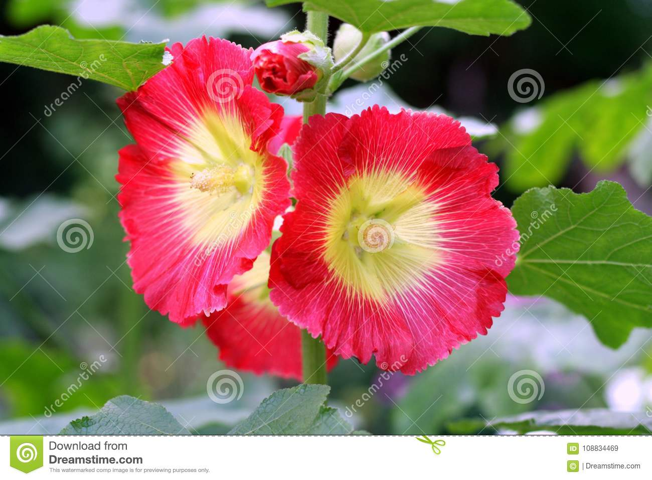 A Flower Of A Garden Mallow Stock Image Image Of Flower Field