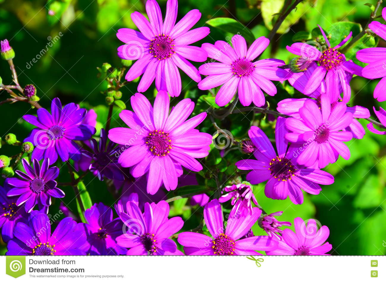 Daisy flower in garden stock photo image of petal plant 74395024 purple daisy flowers in new zealand garden symbolizes april birth flower meaning wholehearted modesty innocence mightylinksfo