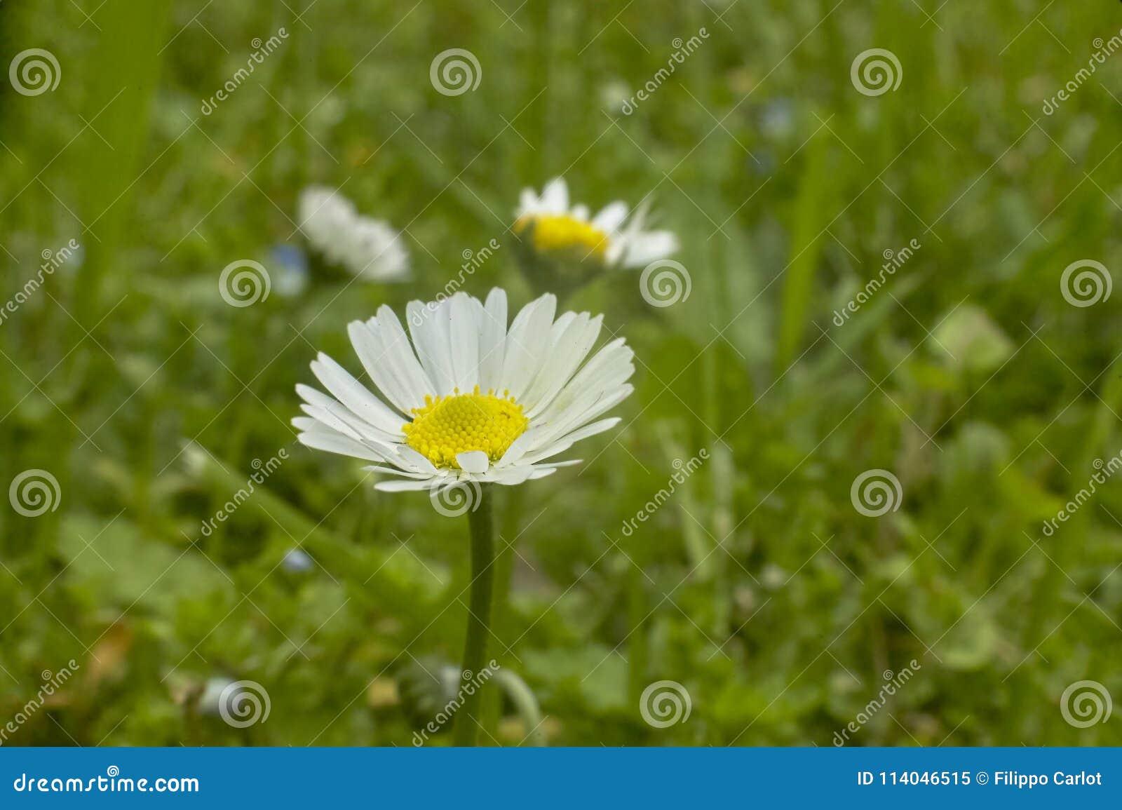The daisy in the flower garden stock image image of daisy pistils the daisy in the flower garden izmirmasajfo
