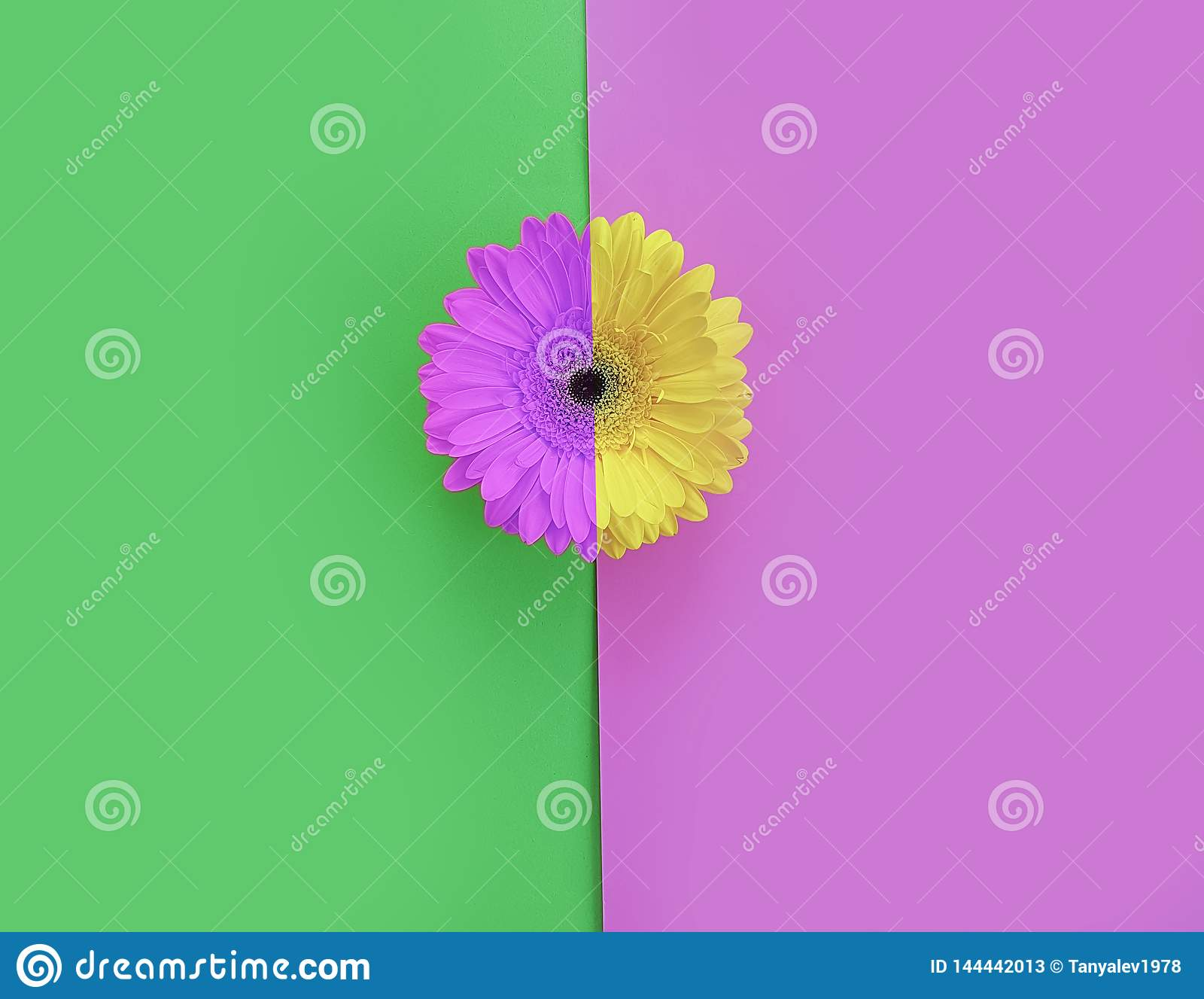 Flower gerbera on color background beautiful minimalism creative