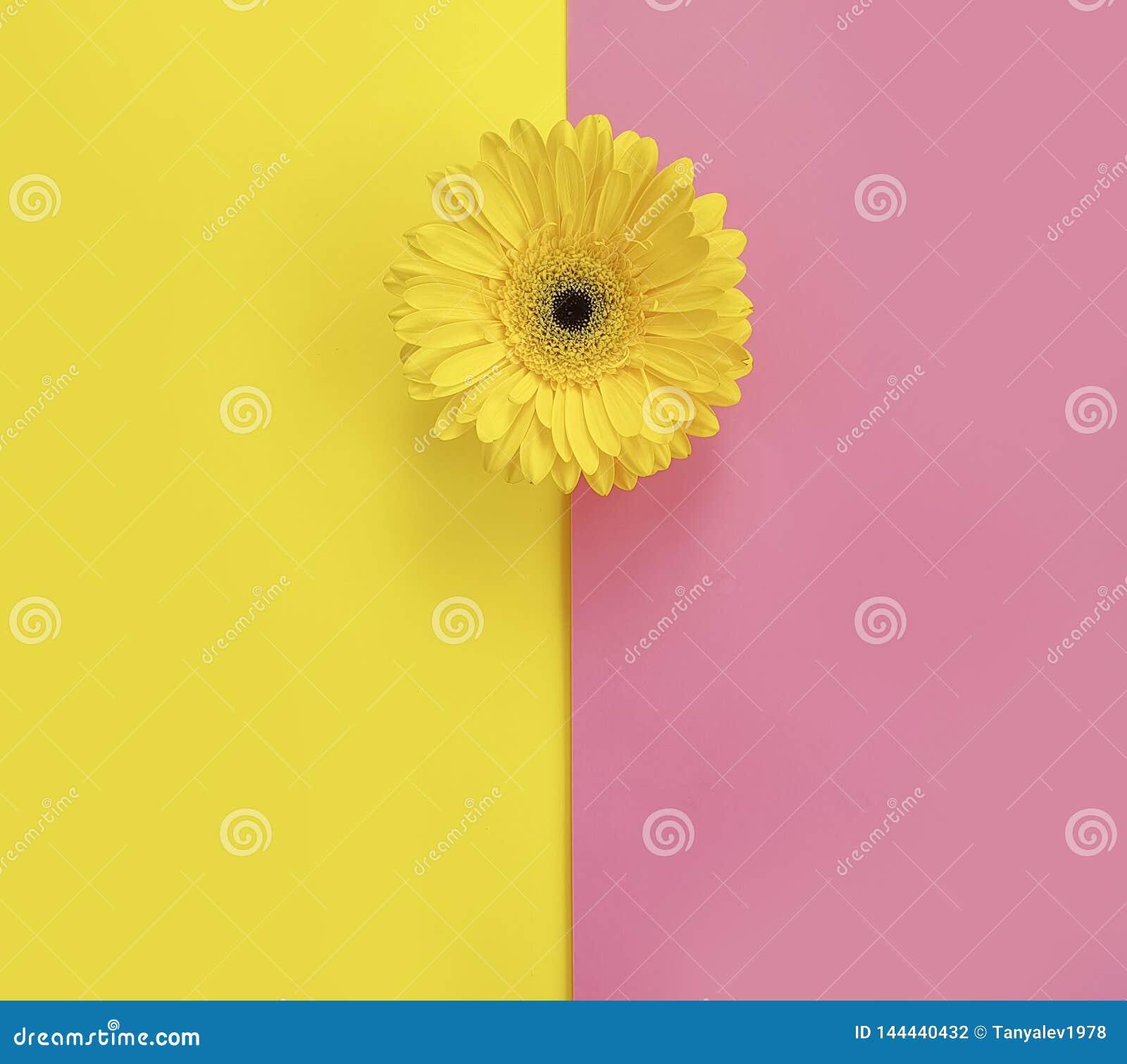Flower gerbera on colorful texture romantic spring background beautiful minimalism creative