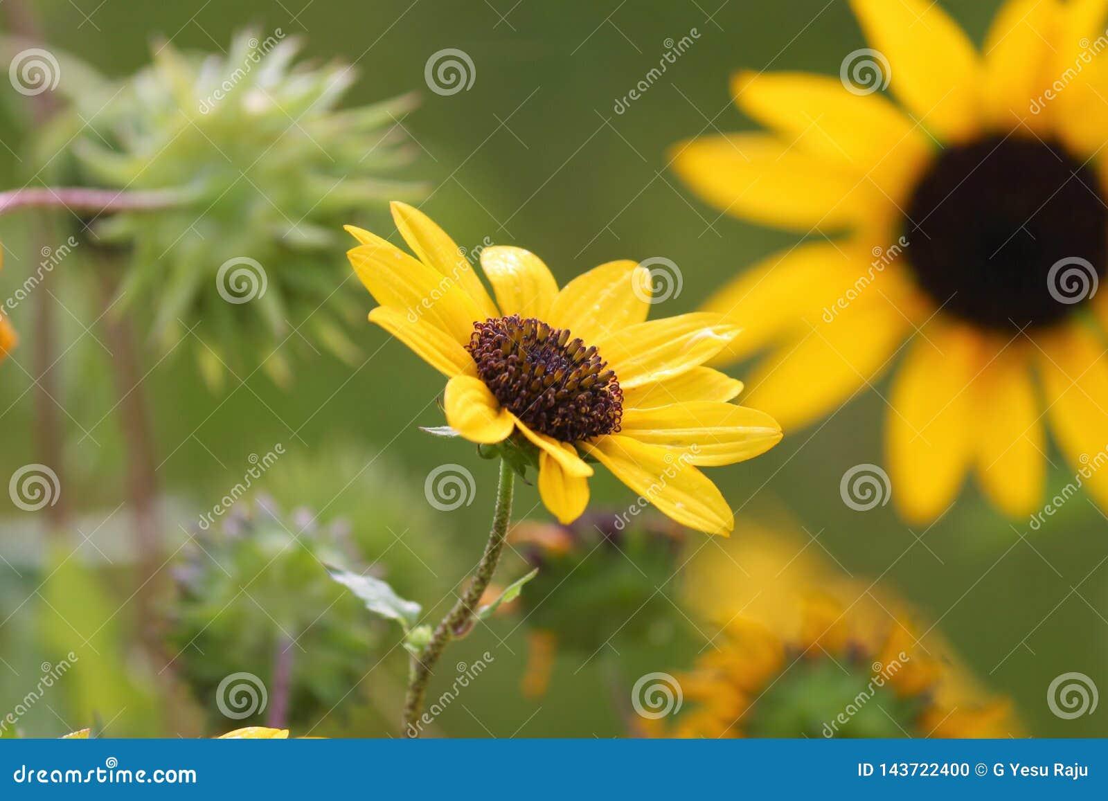 Flower' giallo; famiglia di s nel yhe nature' mondo di s