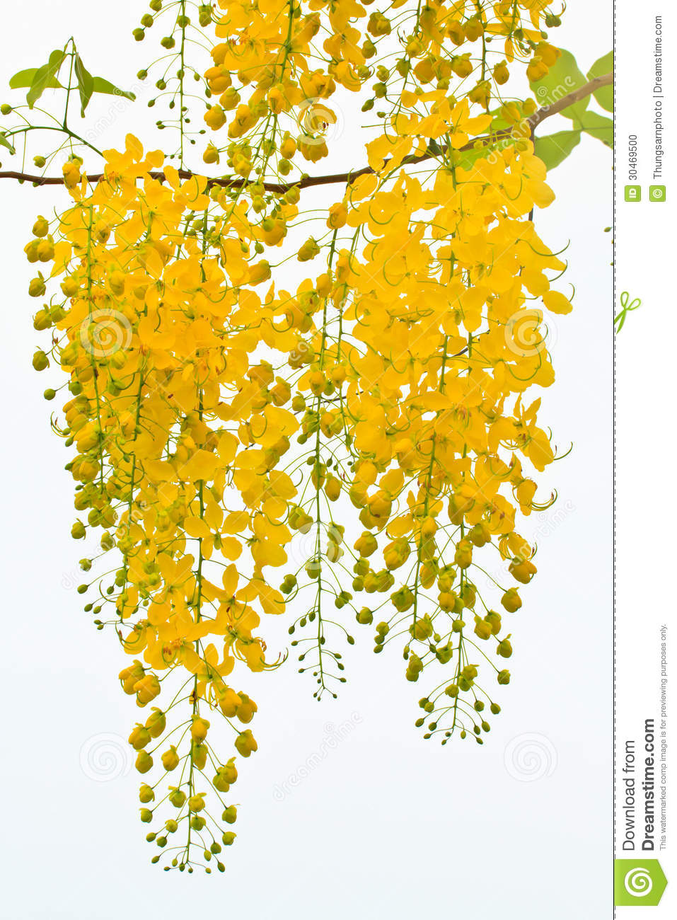 Flower golden shower tree