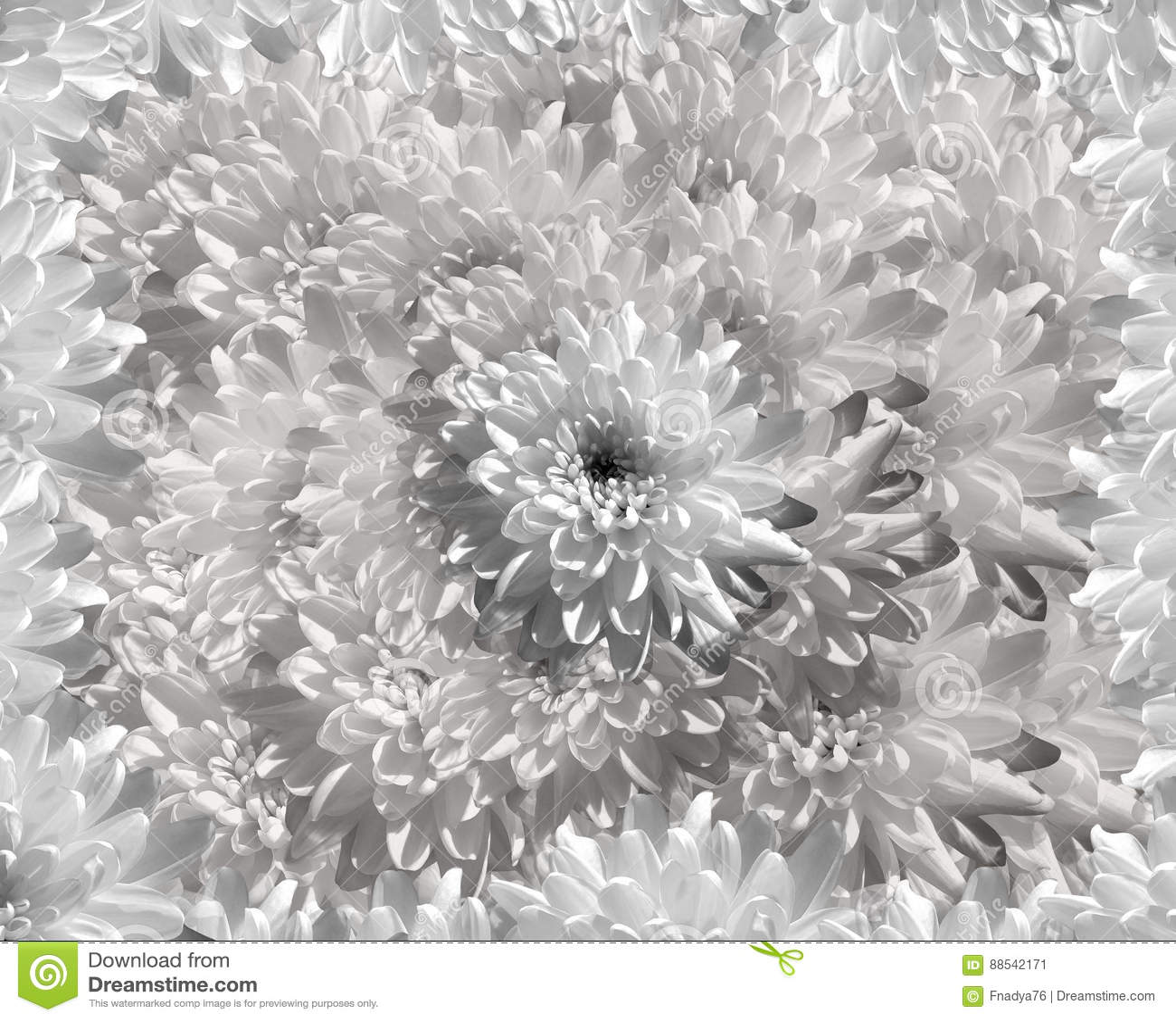 Flower On Gray White Background Petals Chrysanthemum White Flowers
