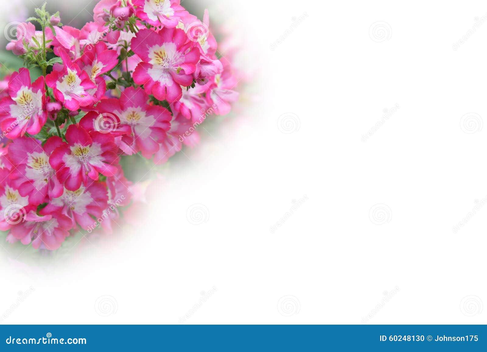 Pink Petunia Border Stock Photos Download 70 Images