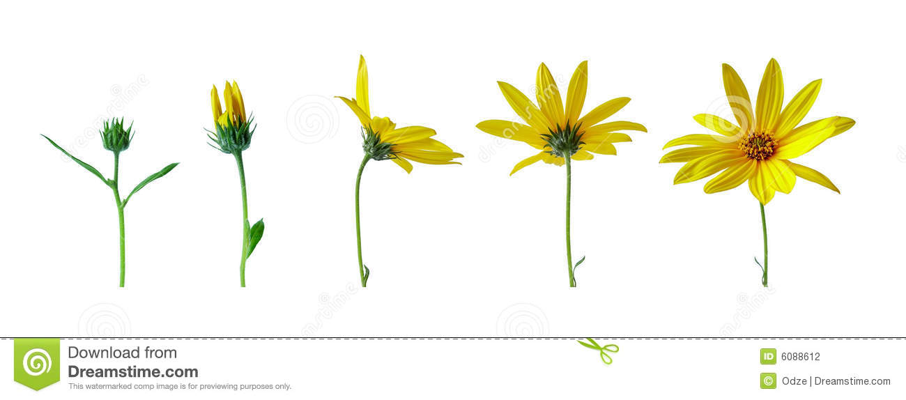 Stock Photography Flower Growth Stages Image6088612 on Color Life Cycle 5