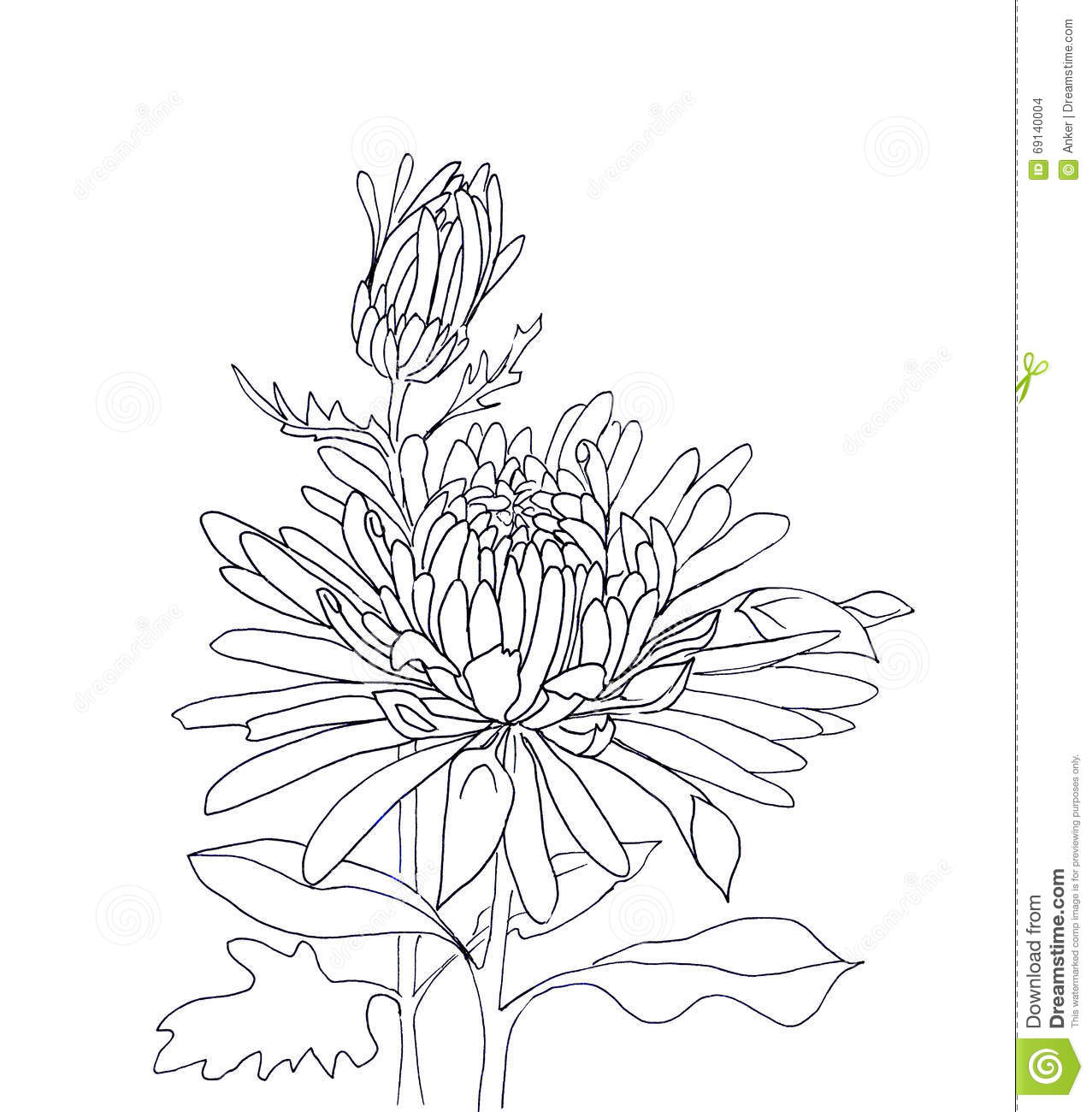 flower hand drawn aster stock illustration  image, Beautiful flower