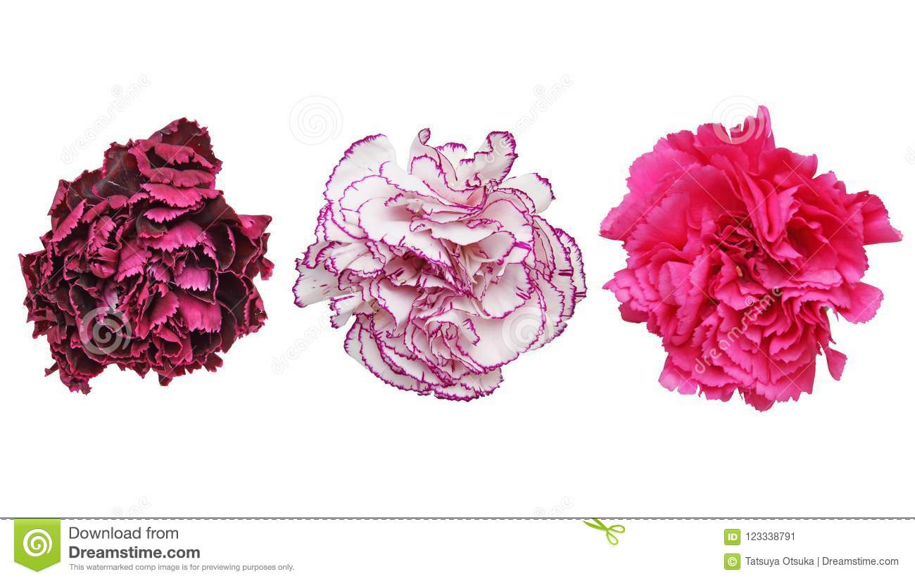Flower head of carnation in a white background