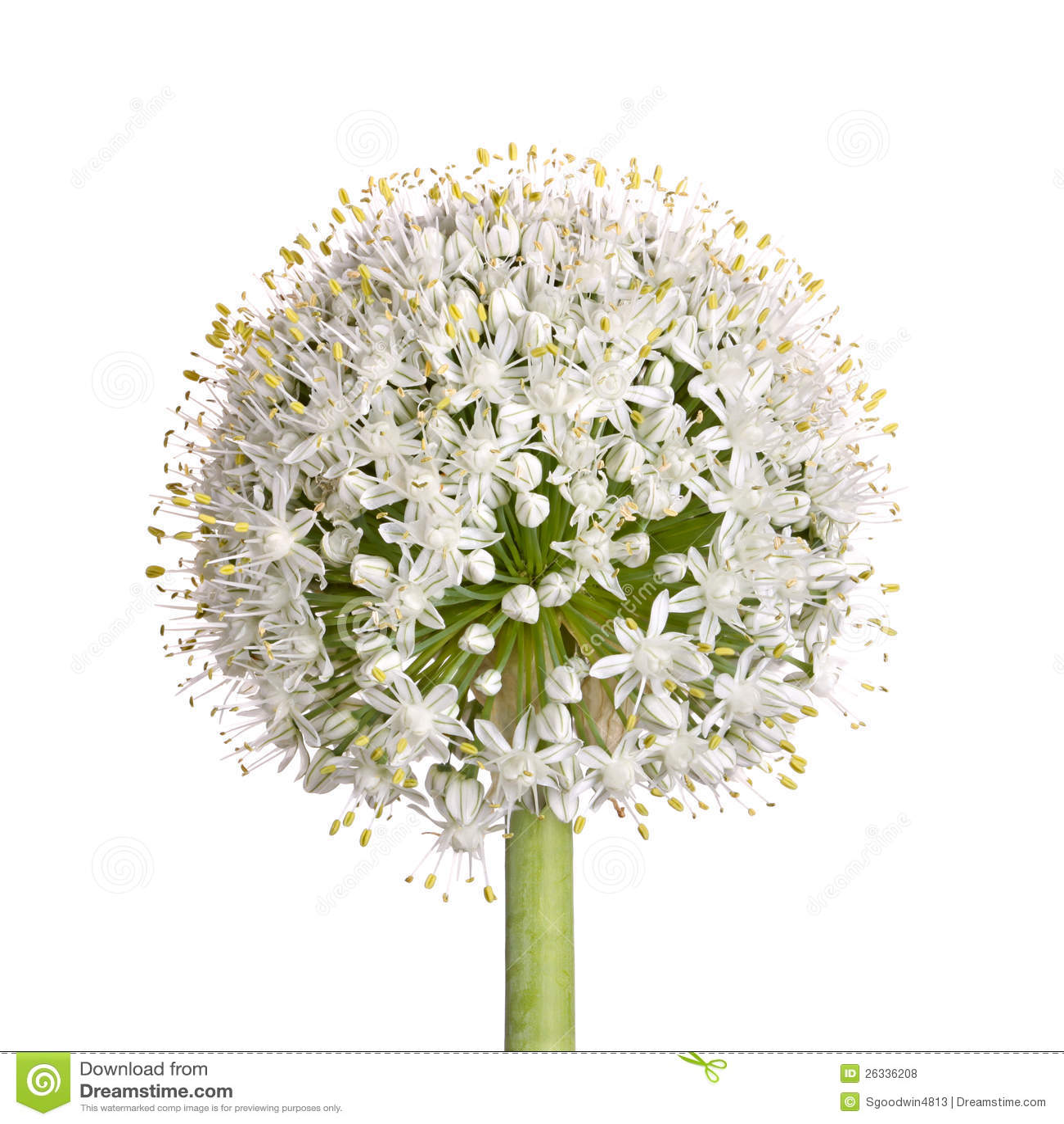 Flower Head Of An Onion  Allium Cepa  On White Stock Photo