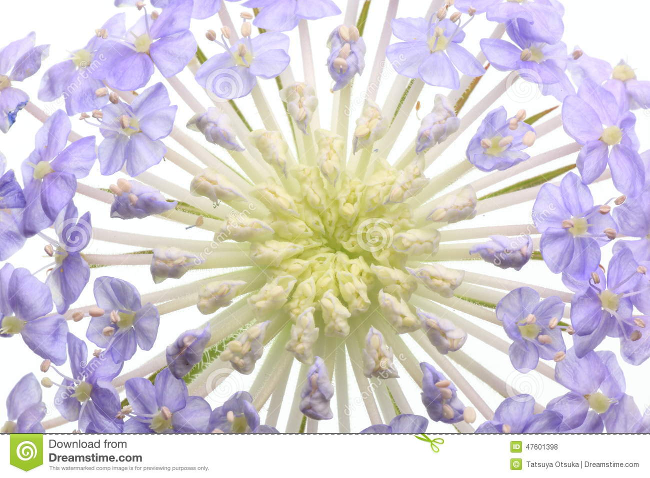 Pincushion Flower White Comousar