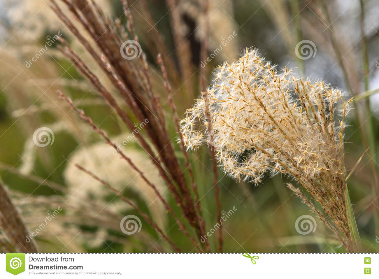 Flower heads of ornamental grass miscanthus sinensis growing i royalty free stock photo workwithnaturefo