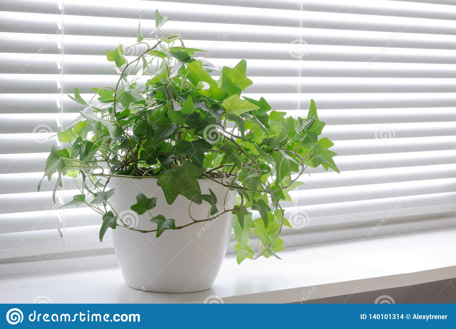 Flower Hedera Ivy In White A Pot On The Light Windowsill Indoor Flower For Office Concept Stock Photo Image Of Nature Decoration 140101314