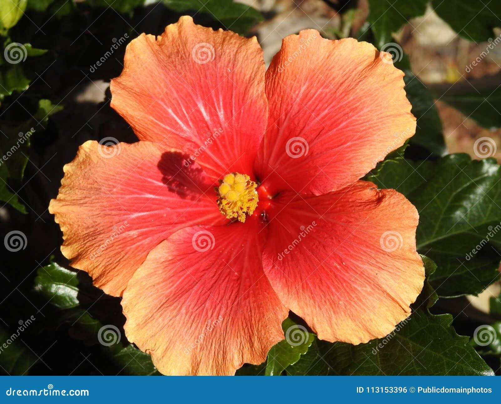 Free Public Domain Cc0 Image Flower Hibiscus Flowering Plant