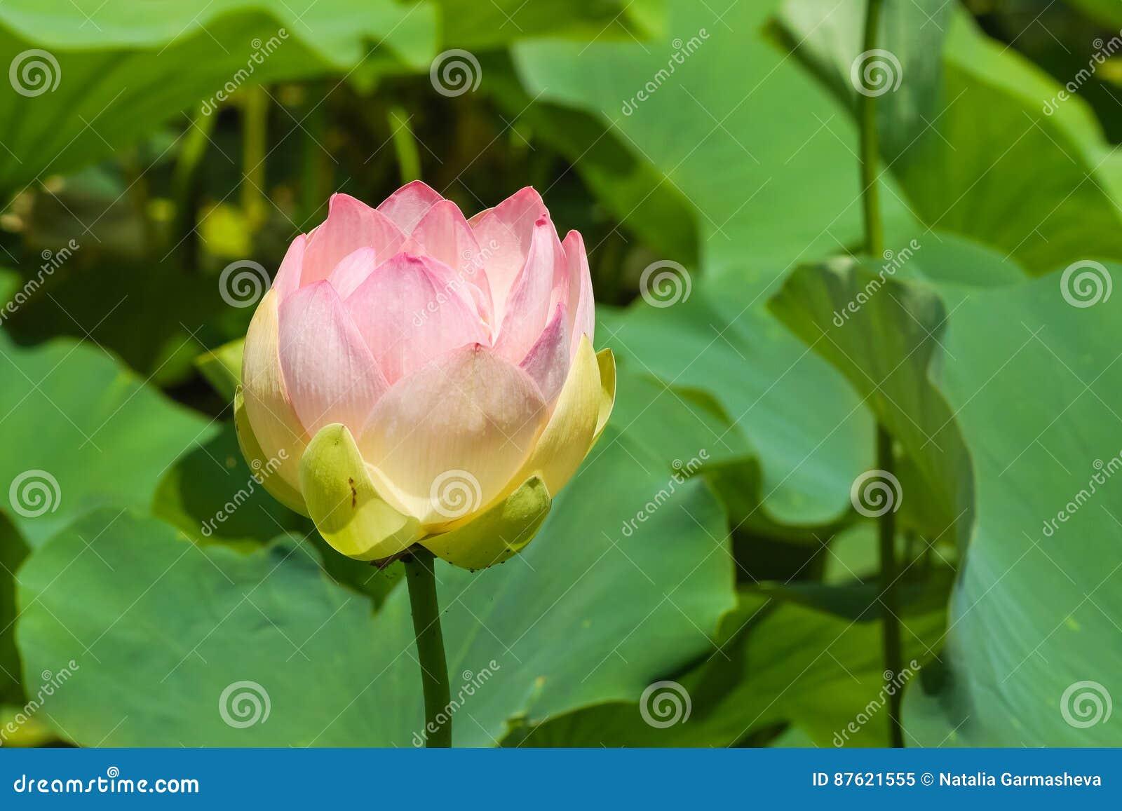 Flower Hindu Lotus Lat Nelumbo Nucifera Is A Perennial Herbaceous