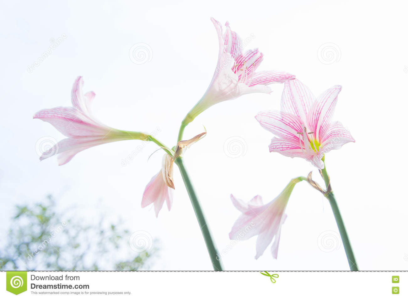 Flower hippeastrum looks like a lily white with pink stripes pl download comp izmirmasajfo