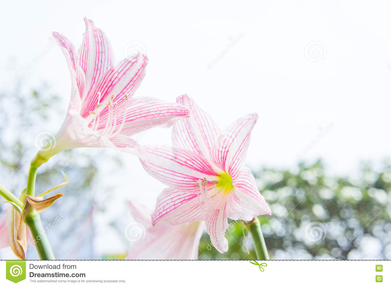 Flower hippeastrum looks like a lily white with pink stripes pl flower hippeastrum looks like a lily white with pink stripes planted ornamental garden homes izmirmasajfo