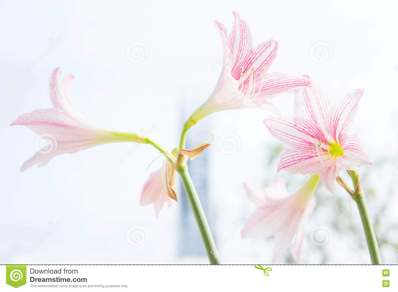 Flower hippeastrum looks like a lily white with pink stripes pl download flower hippeastrum looks like a lily white with pink stripes pl stock photo izmirmasajfo